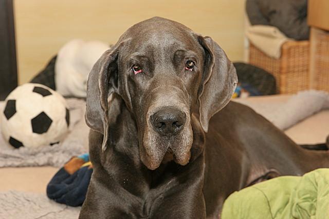 Islar - deutsche Dogge
